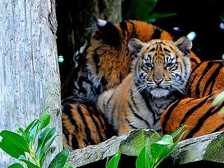 Tiger cub with Mum Kirana, Chester zoo | Flickr