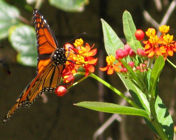Parks Monarch Butterfly And Photographs On Pinterest