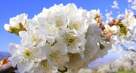 Una docena de fotos del cerezo en flor