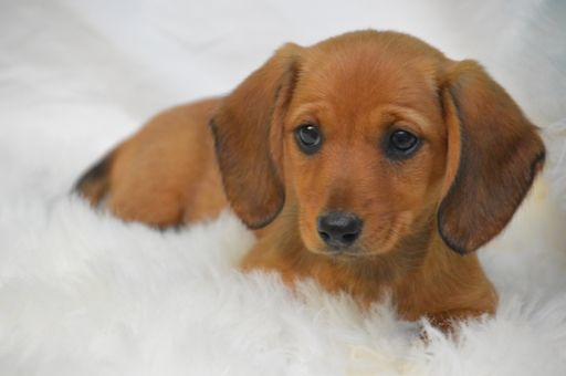 Dachshund Puppy For Sale In Oskaloosa Ks Usa Adn 103776 On