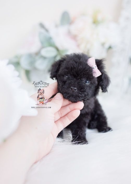 Tiny Black Toy Poodle For Sale Teacup Puppies 058 C Dog Training