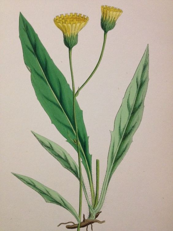 19thc Hand Coloured Sowerby Botanical Engraving Silvery Hawkweed DCCCXLIII
