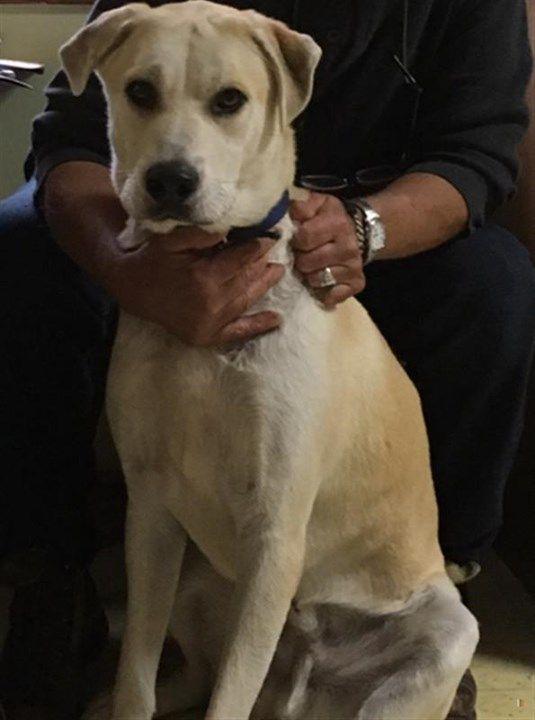 Lost Dog Woodbury Labrador Retriever Male Date Lost 05 16 2019 Dog S Name Lew Breed Of Dog Labrador Retriever Gender Male C Losing A Dog Dog Names Dogs