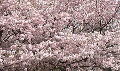 Jugatsu Zakura Outwriter Books Travel Yoshino Cherry Tree Japanese Cherry Tree Cherry Tree