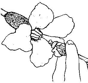 Foto bestuiven met mannelijke bloem.