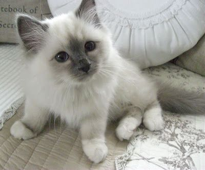 (Sacred Birman Cat (Blue Point) * * AND SHE WITH PURR AND VELVET PAW, BECAME WITHIN MY HOUSE THE LAW. SHE SCRATCHED THE FURNITURE AND SHED, AND CLAIMED THE MIDDLE OF MY BED, SHE RULED WITH ARROGANCE AND PRIDE, AND BROKE MY HEART THE DAY SHE DIED. ~ D. Parkman