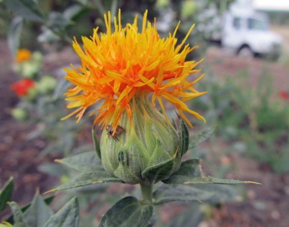Manfaat Bunga Safflower Yang Menguntungkan Http Bibitbunga Com Blog Manfaat Bunga Safflower Yang Menguntungkan Tanaman Bunga Kesehatan Rambut