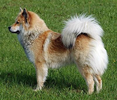 Eurasier Vdh Rasselexikon Dog Breeds Eurasian Dog Eurasier