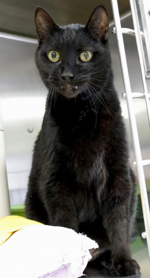 Hi I M Charlie I M A 10 Year Old Neutered Male Black Domestic Short Hair Kitten Adoption Super Cat Kittens