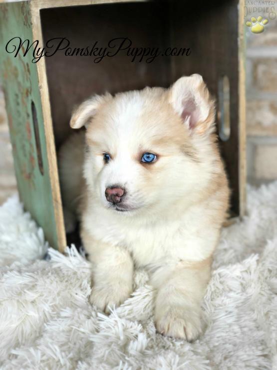 Cedar Pomsky Puppy For Sale In Bowling Green Ky Pomsky