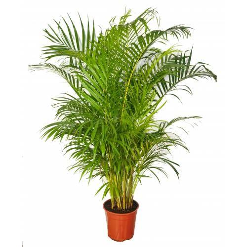 Palmeira Areca - C22