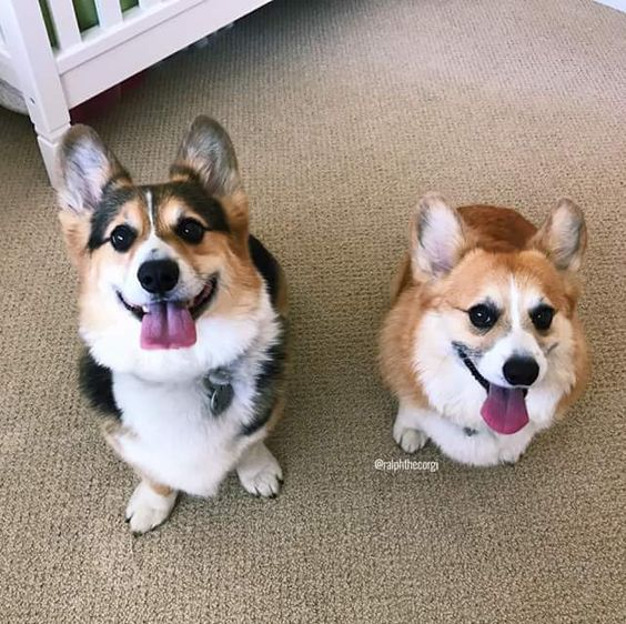 Pin By L Edwards On Makes Me Smile Corgi Animals Dogs
