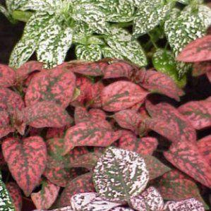 Hypoestes phyllostachya nombre popular tipolog a planta for Plantas de interior fotos y nombres