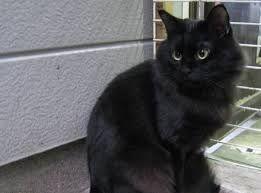 Black cats - Recherche Google