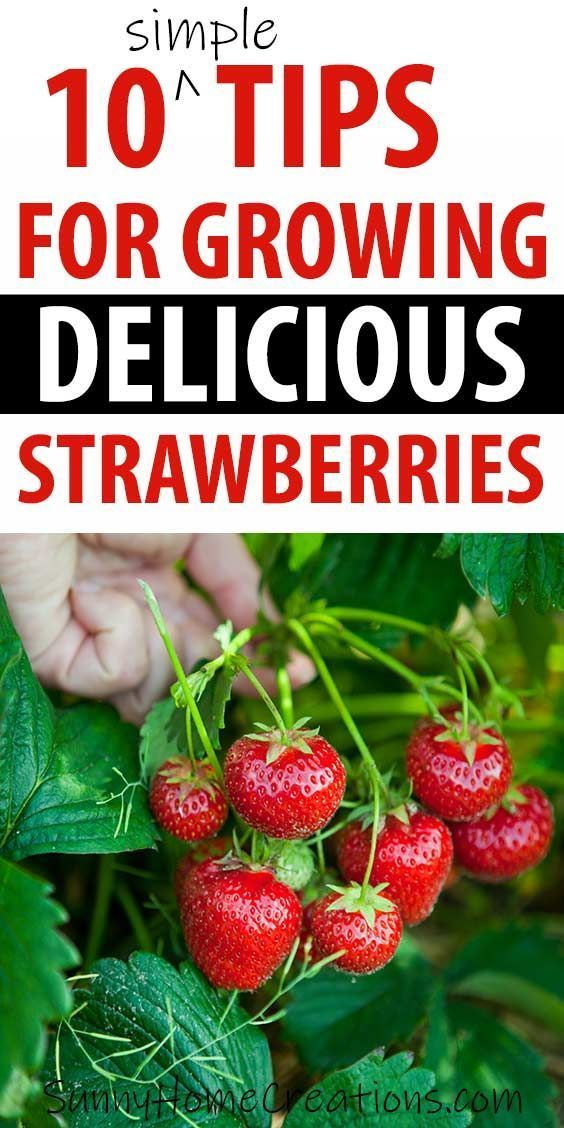73 10 Simple Strawberry Growing Tips Growing Strawberries Strawberry Plants Strawberry Plants Ideas