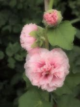 Double pink hollyhocks - Marie Arden Pink Living