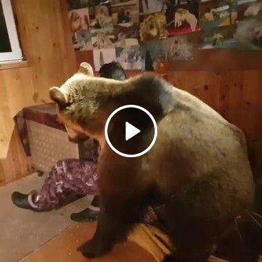 Urso querendo brincar com humano