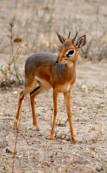 Dik-dik (male) -Tarangire National Park,Tanzania