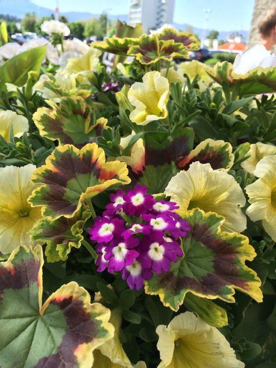 Combo geranium petunia