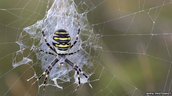 Cold-tolerant wasp spiders spread to northern Europe