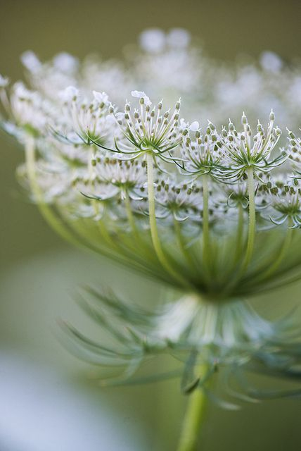 Daucus carota, whose common names include wild carrot, bird's nest, bishop's lace, and Queen Anne's lace (North America)