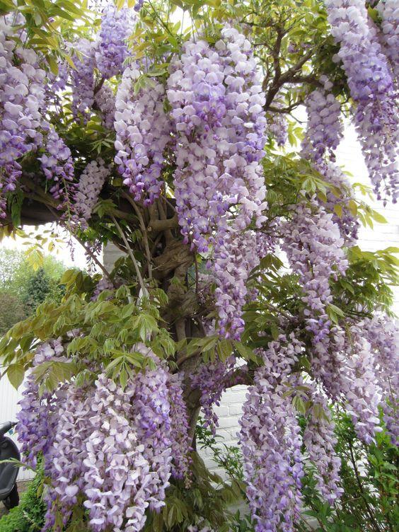 wisteria - blauwe regen is giftig dus niet voor de kindvriendelijke tuin