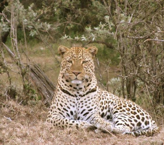 Leopard in the Mara, Kenya
