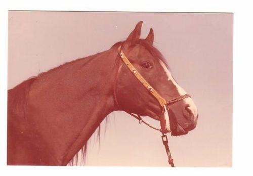 Schoene-alte-Pferdepostkarte-l-Brauner-Araberhengst-Czort-Sehr-guter-Zustand