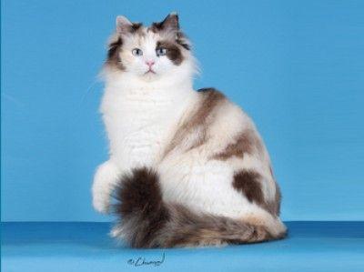 Ragamuffin cat ... large, loving and sweet!