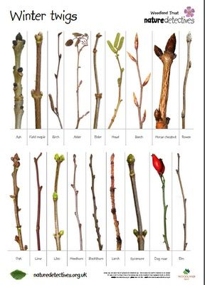 Under An English Sky: OHC - Winter Twig Challenge: Free download from Nature Detectives and free notebooking page to download