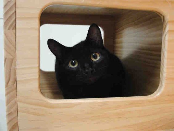 Na-na-na-na-na-na-na BATMAN! BATMAN! Hi there! I am the cool kitty they call Batman and it is so fabulous to meet you. I have actually been looking for a Robin to call my partner in this life! Are you looking to be this kitty's sidekick? I am a neutered male, black Domestic Shorthair and I am about 1 year and 10 months old (ID#A075023)