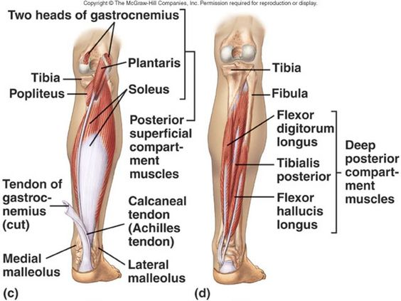 Awesome Peroneus Longus Anatomy Crest Image Of Internal Organs Of