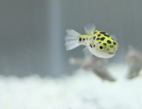 Dwarf puffer fish chilling out by recombinant rider via for Dwarf puffer fish
