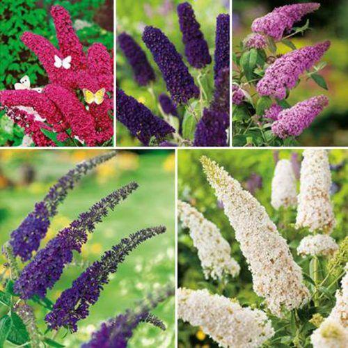 Schmetterlingsflieder Set - 5 Pflanzen