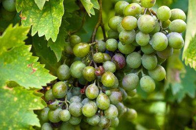 Weinreben bringen viele schmackhafte Früchte hervor.