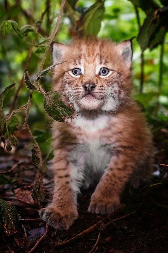 Little lynx by Stefan Betz on 500px