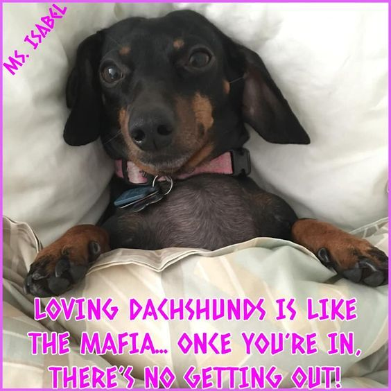 Dachshund Meme Sausage Dog Dachshund Love Dachshund Puppies