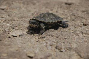 turtles suggests turtle crosses and more freshwater turtles turtles ...