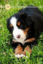 "happyberners | Past Litters | ""Prince"" 5 weeks old"