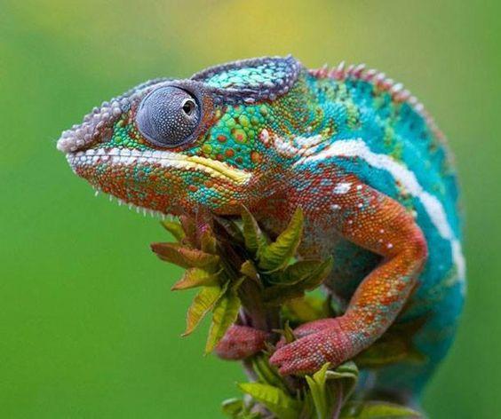 Camaleão - Aninhahotlove  Se são as mudanças na luz, temperatura ou emoção que fazem os camaleões mudarem de cor, imagine tudo o que aconteceu para ele ter ficado assim!