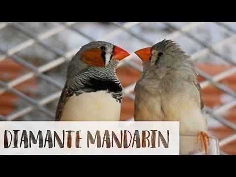 14 Cosas Que No Sabias Del Diamante Mandarin Myanimalsm Youtube Diamante Mandarin Animales Cosas Que No Sabias