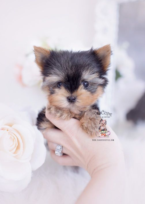 Teacup Yorkie Puppy For Sale Teacup Puppies 357 Bb Yorkie Puppy Teacup Puppies Teacup Yorkie Puppy