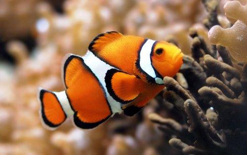 немо рыба фото