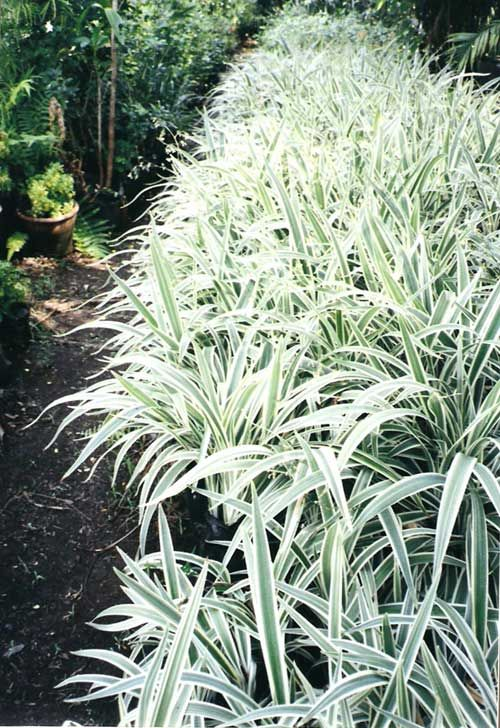 Dianella tasmanica 39 variegated 39 variegated flax lily for Variegated grass plant