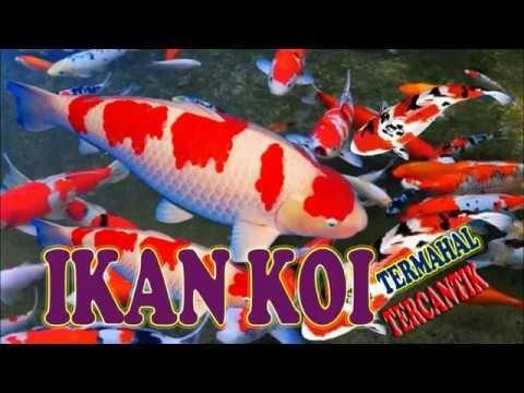 Ikan Koi - Rahman Gambar