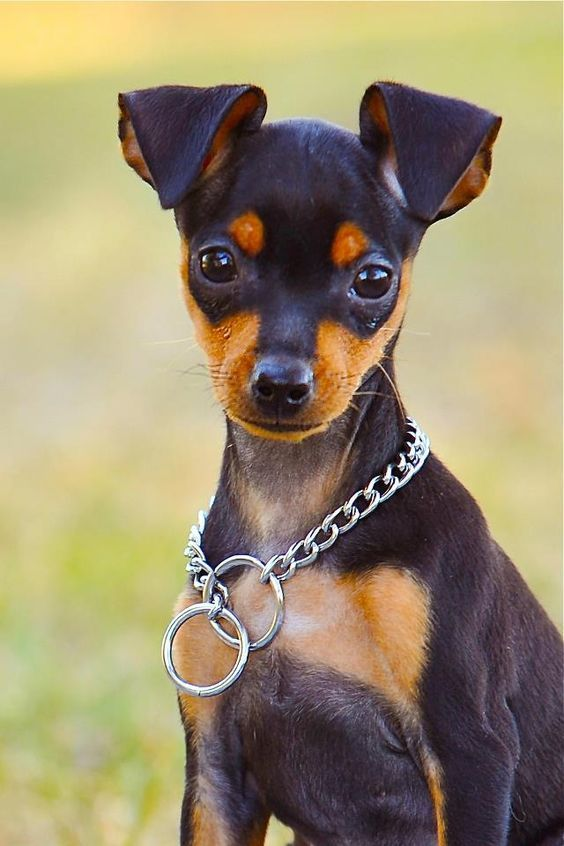Small Dogs Who Are Easy To Groom Dogtime Miniature Pinscher Puppy Miniature Pinscher Dog Dog Breeds