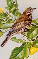 Постер British Birds - Mistle Thrush