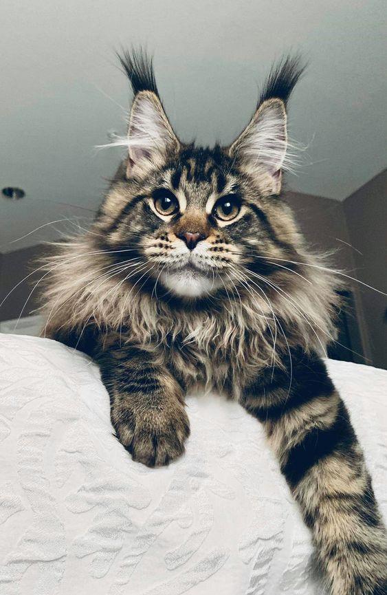 tabby Maine Coon cat #cat #mainecooncat #tabbycat