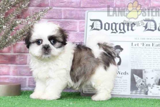 Poppy Tri Female Shih Tzu Puppy Shih Tzu Puppy For Sale In Bel Air Md Lancaster Puppies Shihtzu Shih Tzu Puppy Shih Tzu Puppies For Sale