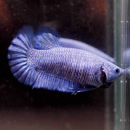 Live Betta Fish Solid Color Super Blue Halfmoon Plakat Hmpk Female 448 Betta Fish Betta Fish